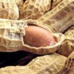 بذر بادام زمینی گیلان