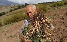 بذر بادام زمینی اصلاح شده