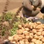 فروش بذر بادام زمینی