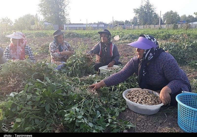 بازار تولید بذر بادام