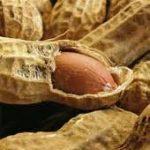 پخش بذر بادام زمینی