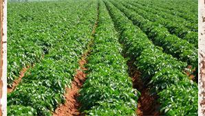 قیمت بذر بادام شمال